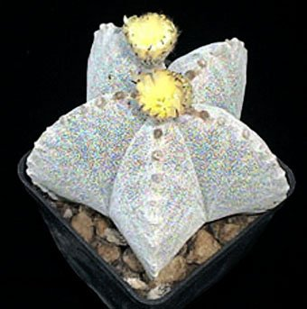 Astrophytum myriostigma หนึ่งในสายพันธุ์ Astrophytum
